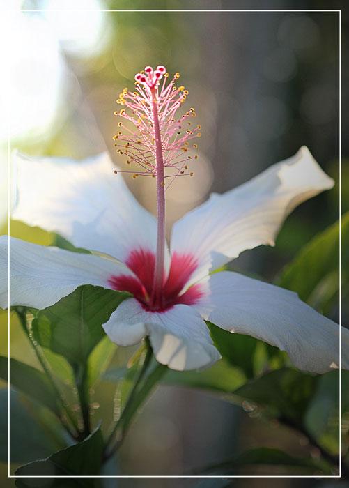 hibiscus-1-pet